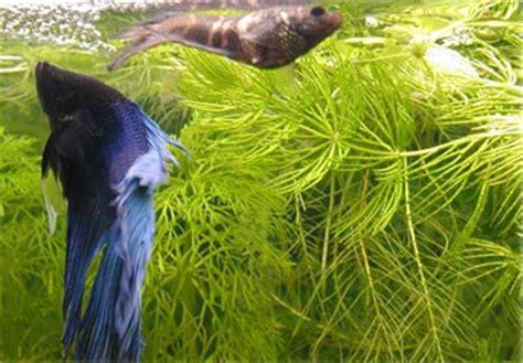 betta splendens alimentazione betta splendens pesce combattente acquariofilia italia