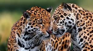 World Jaguars Cats Species What Are Cats Information Of The