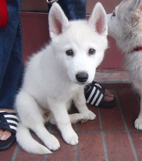 white husky puppies white husky puppy search on the hunt