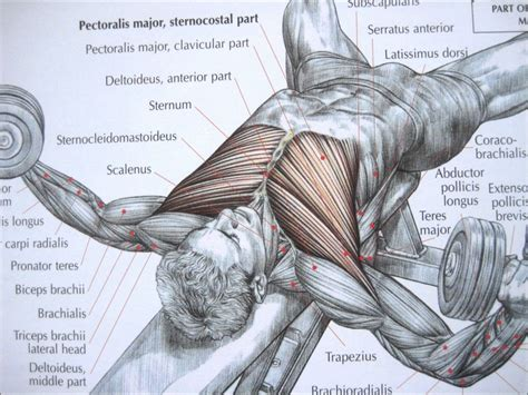 Bodybuilding chest exercise and anatomy youtube