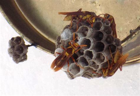 How To Make Paper Wasps - hornets and yellow jackets archives what s that bug