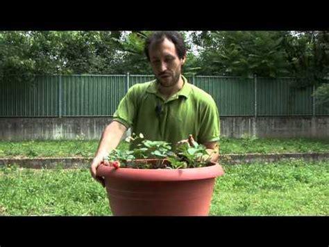 coltivare meloni in vaso coltivare fragole in vaso