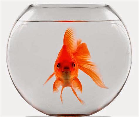 vasca pesce rosso l europa 232 come un pesce rosso in una boccia di vetro
