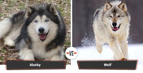 breeds that look like wolves dogs that look like wolves 21 wolf lookalike breeds dogpack