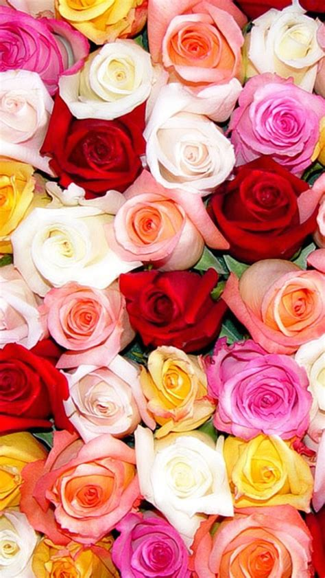 theme rose iphone wallpaper iphone 5 s many roses 640 x 1136