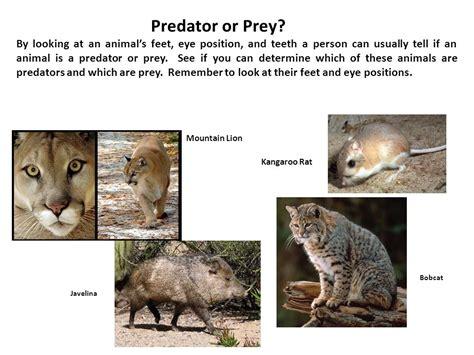 Prey Of The Predator predator prey relationships ppt
