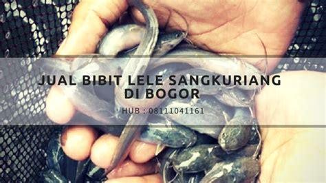 Jual Bibit Azolla Di Bogor jual bibit lele sangkuriang di bogor hub 08111041161