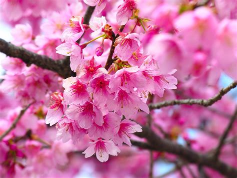 Romantic Flowers Cherry Blossom Flower Japanese Cherry Blossom Flower