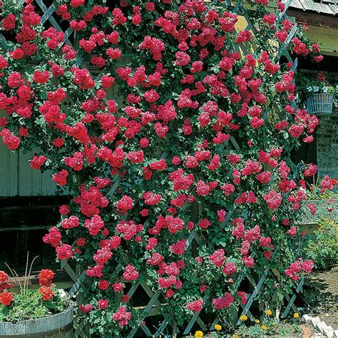 how to plant climbing roses 37 best images about gardening on gardens