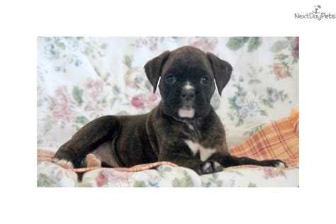 boxer puppies for sale near me boxer puppy for sale near lancaster pennsylvania 3c291b66 b451