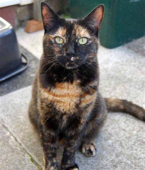8 Reasons Cats Make Great Companions by M 225 S De 25 Ideas Incre 237 Bles Sobre Gato De Concha De Tortuga