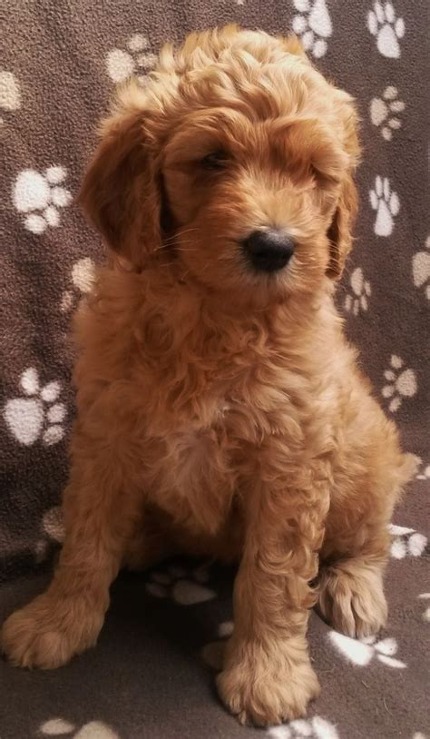 mini labradoodles kent f1b goldendoodle pups apricot health tested