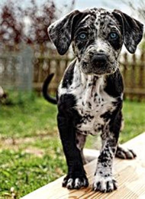 Catahoula Shedding by 1000 Ideas About Leopard On Catahoula Cur