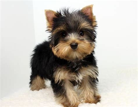teacup yorkie for sale in baltimore md ripoff report victory teacup yorkies complaint review baltimore maryland