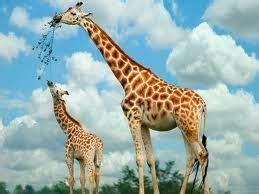 google images giraffe baby giraffes google search gift of africa pinterest
