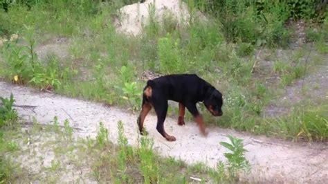 rottweiler 6 months 6 month rottweiler puppy