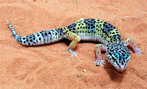 leopard gecko salman s pets
