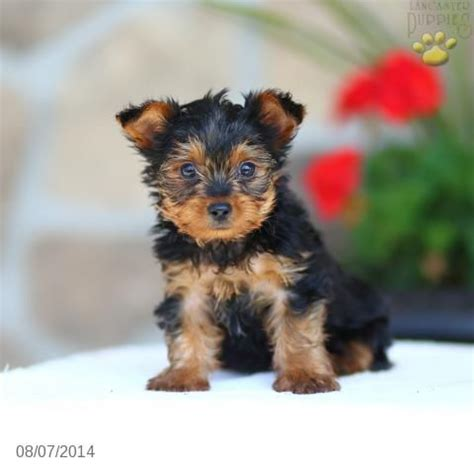 yorkie puppies for sale in pennsylvania terrier puppy for sale in pennsylvania yorkie puppies