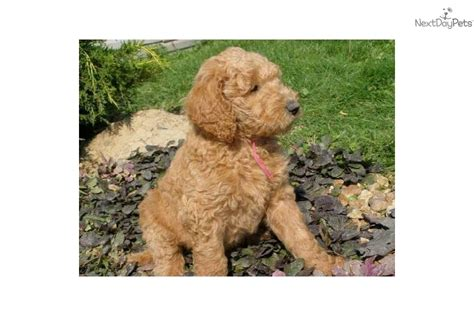 f1b labradoodle puppies for sale meet pups a labradoodle puppy for sale for 800 f1b labradoodles