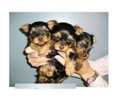 free puppies in rogers arkansas top akc tea cup maltese puppies now available animals arkansas city