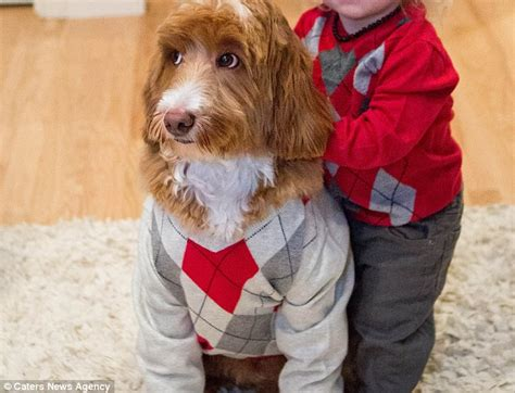 labradoodle christmas jumper the labradoodle sends into overdrive as he and his owner s grandson wear