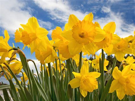 daffodil yellow daffodil yellow photo 30709813 fanpop