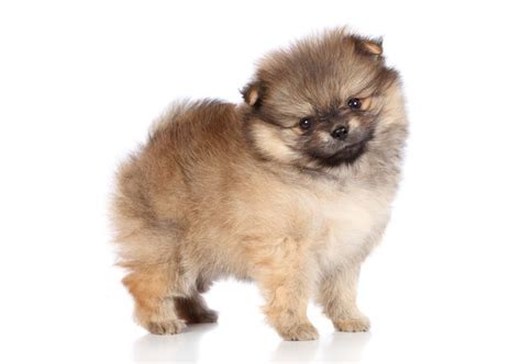 pomeranian throwing up 17 best images about pomeranian on pomeranian puppy puppys and pomeranian