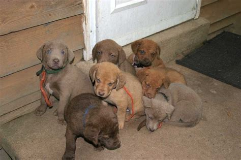 chesapeake puppies breeders profiles and pictures