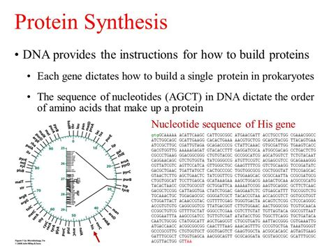 5 proteins in dna replication dna replication and protein synthesis ppt