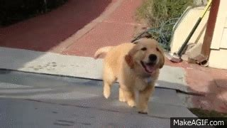 golden retriever puppy gif golden retriever puppy fail on make a gif