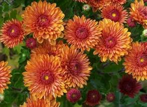 garden mums salient landscaping snow removal fall clean up ann arbor michigan