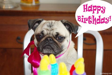 pug birthday image gallery happy birthday pug pictures