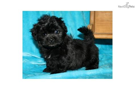 shih poo puppies for sale in nc shih poo shihpoo for sale for 500 near jacksonville carolina d5cbdfbd aeb1