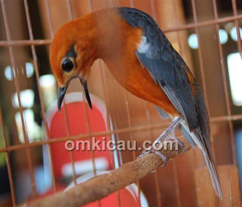Minyak Ikan Burung terapi minyak ikan agar bulu burung mulus selepas ngurak