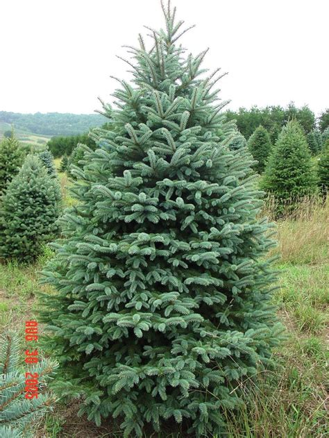 colorado blue spruce trees buy online at nature hills colorado spruce colorado blue spruce evergreen tree