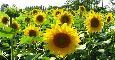 Minyak Bunga Matahari khasiat bunga matahari untuk kesehatan motivarts magazine