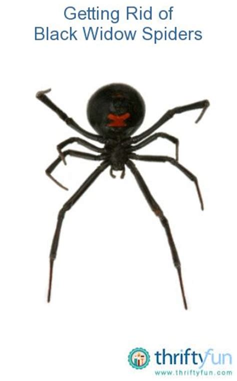 Can A Garden Spider Kill You Gardens Home And Black Widow Spider On