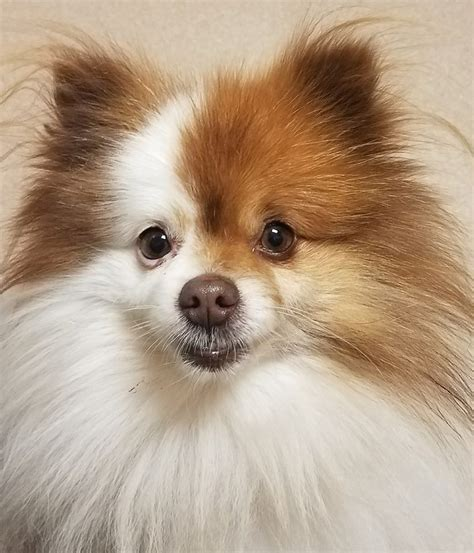 pomeranian puppies for adoption in pa view ad pomeranian for adoption pennsylvania harrisburg usa