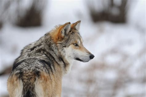 what is a wolf wolf wallpapers hd