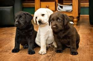 color labs tri color lab puppies woof woof