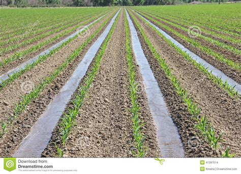 irrigated corn irrigation of young corn in agriculture farming field