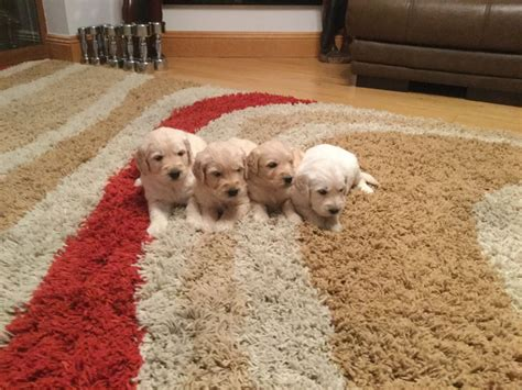 retriever doodle puppies for sale uk stunning goldendoodle puppies for sale ebbw vale