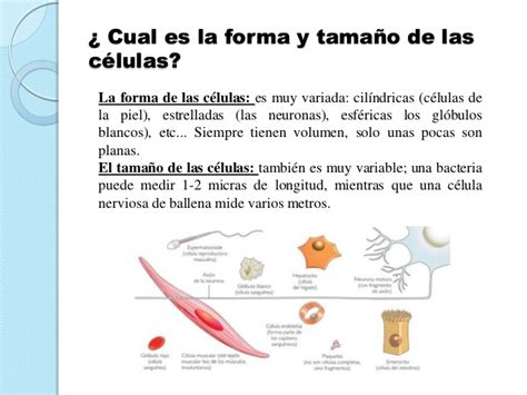 imagenes sensoriales de forma y tamaño presentaci 243 n sobre quot las c 233 lulas quot definici 243 n