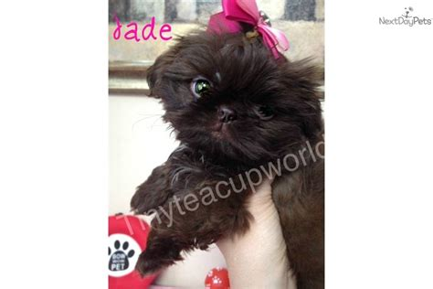 green eyed shih tzu shih tzu puppy for sale near arizona 6241ee7f 72e1