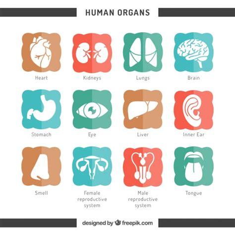icons  human organs vector