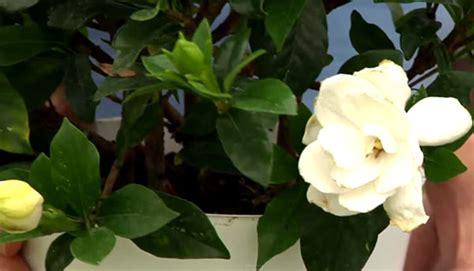 Gardenia Planting Zones Hardy Gardenia Plant Enjoy Fantastic White Blooms In