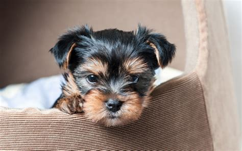 do yorkies make pets anxiety remedies a complete guide canna pet 174