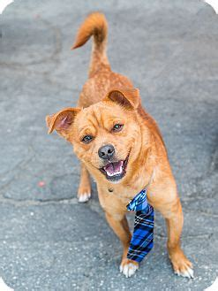 shiba inu and pug mix marina ca pug shiba inu mix meet a for adoption