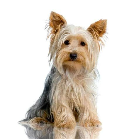 are yorkies with terrier breed 187 information pictures more