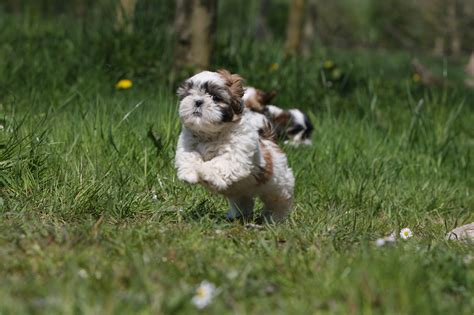shih tzu height running shih tzu photo and wallpaper beautiful running shih tzu pictures